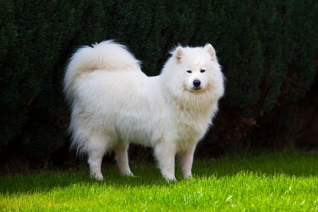 SAMOYED dog dogs canine wallpaper