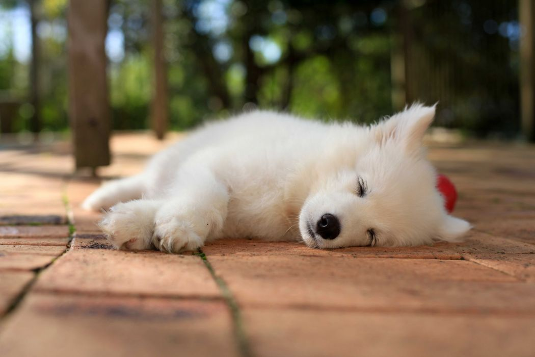 SAMOYED dog dogs canine baby puppy