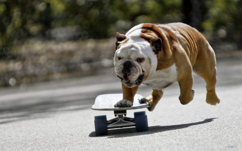 BULLDOG dog dogs canine wallpaper