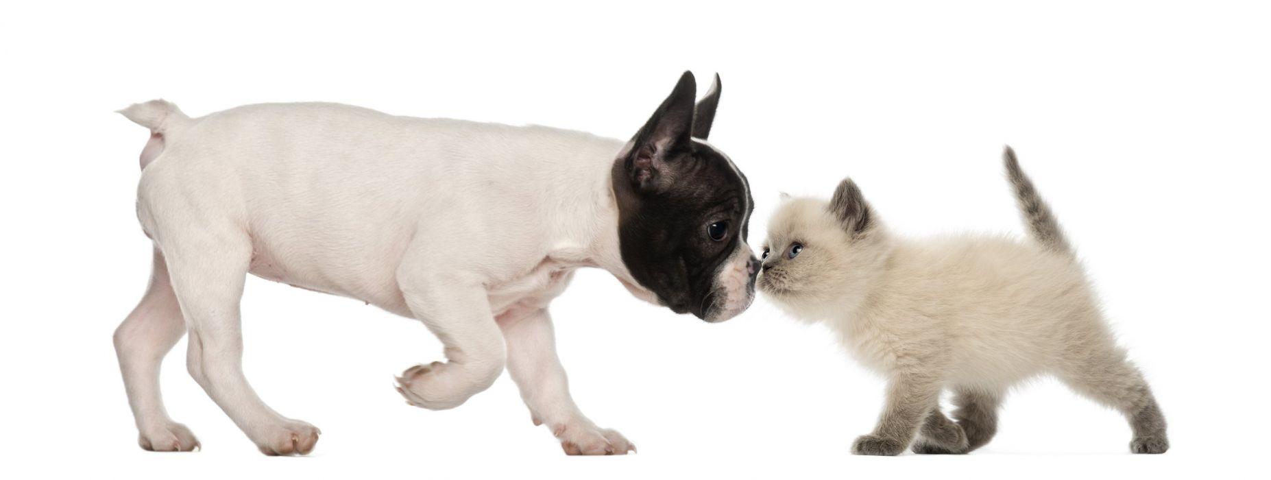 BULLDOG dog dogs canine puppy baby kitten cat wallpaper