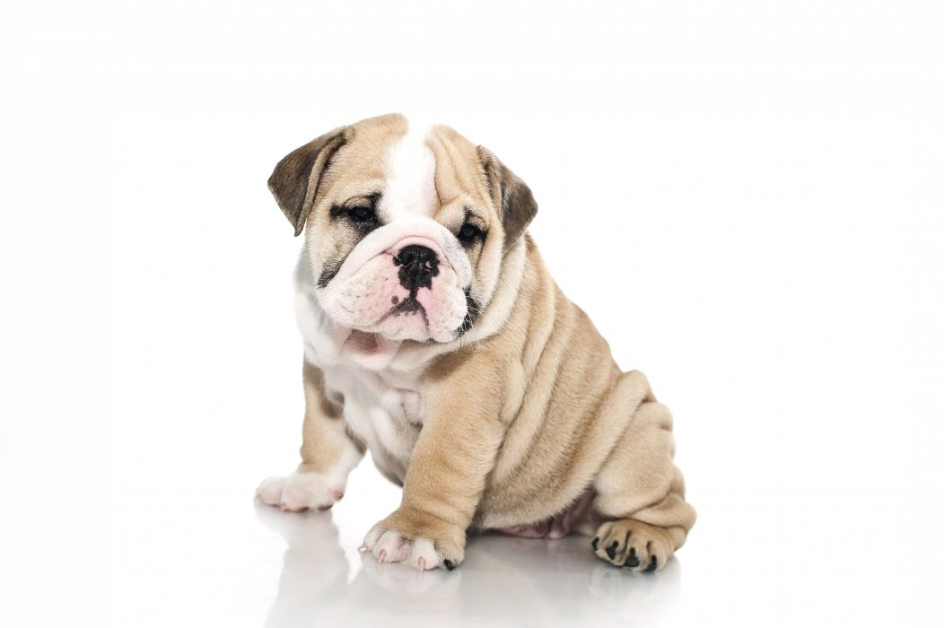 BULLDOG dog dogs canine puppy baby wallpaper