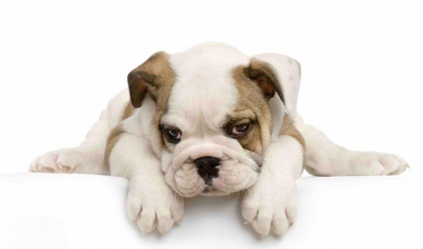 BULLDOG dog dogs canine puppy baby wallpaper