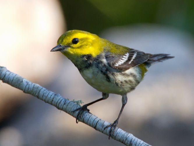 WARBLER bird birds nature wildlife wallpaper