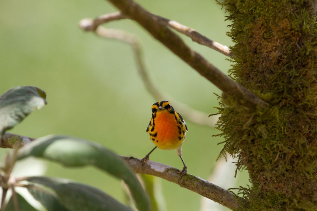 WARBLER bird birds nature wildlife wallpaper