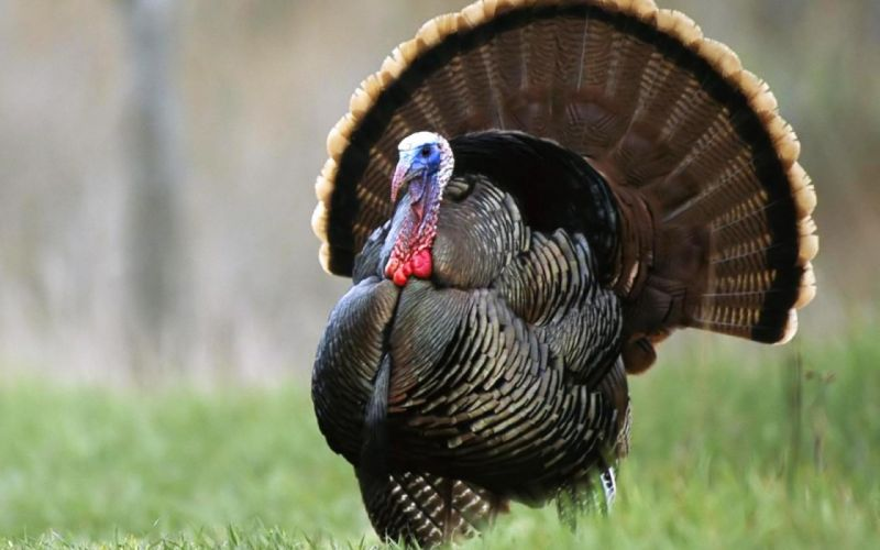 TURKEY bird wildlife thanksgiving nature wallpaper