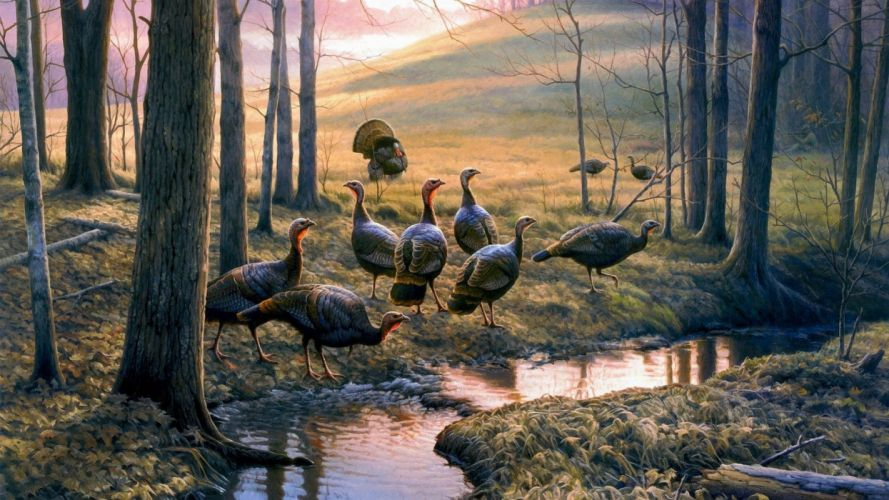 TURKEY bird wildlife thanksgiving nature wallpaper
