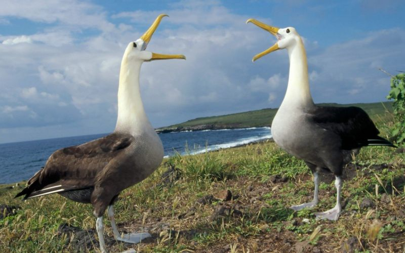 ALBATROSS seabird bird birds wallpaper
