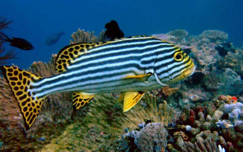TRIGGERFISH ocean sea tropical underwater 1tfish fish wallpaper