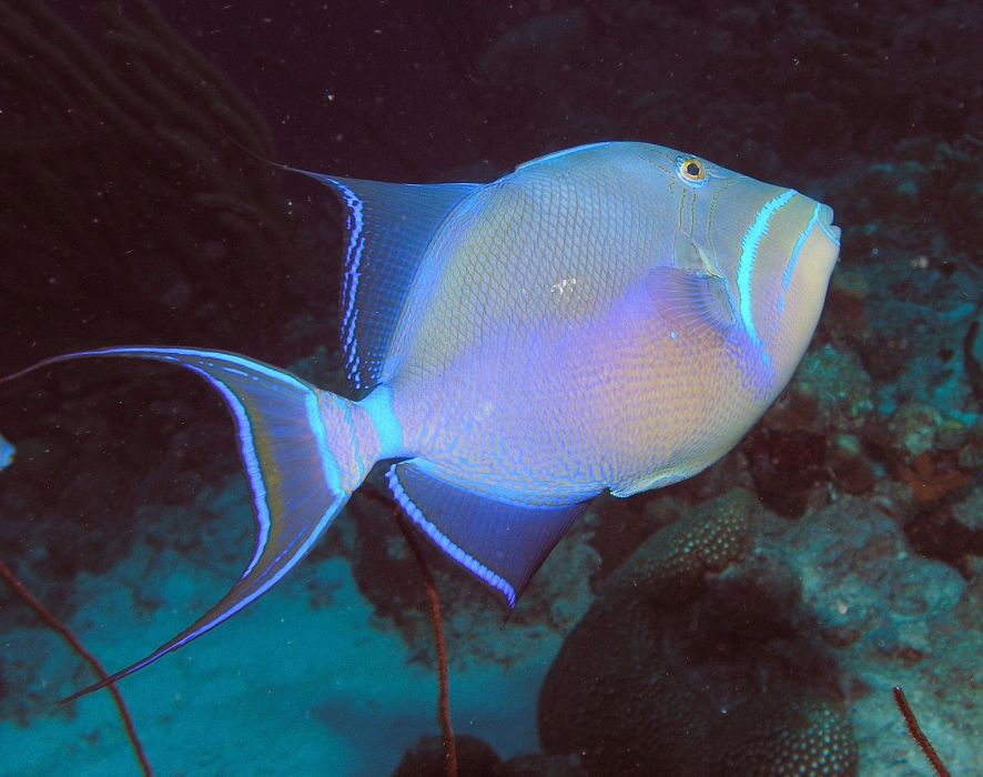 TRIGGERFISH ocean sea tropical underwater 1tfish fish wallpaper