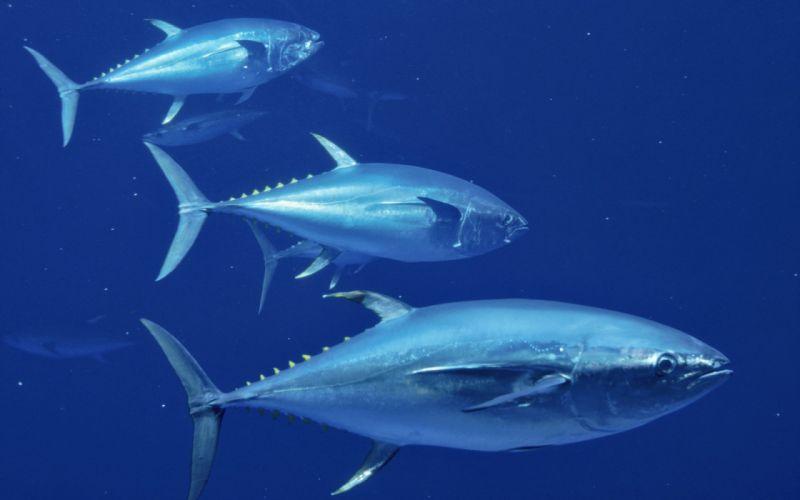 TUNA ocean sea underwater fish fishes wallpaper