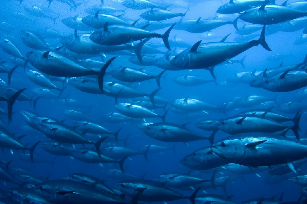 TUNA ocean sea underwater fish fishes