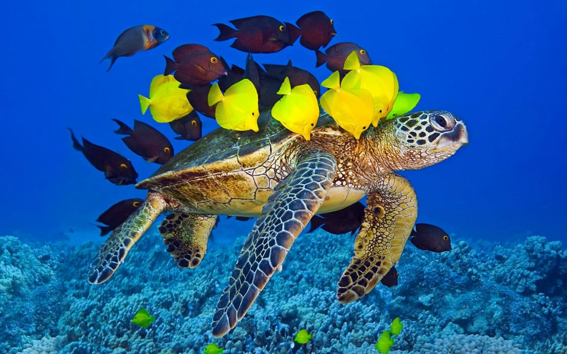 tortuga peces mar animales wallpaper