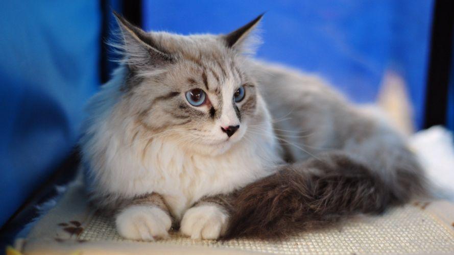 gato siames wallpaper