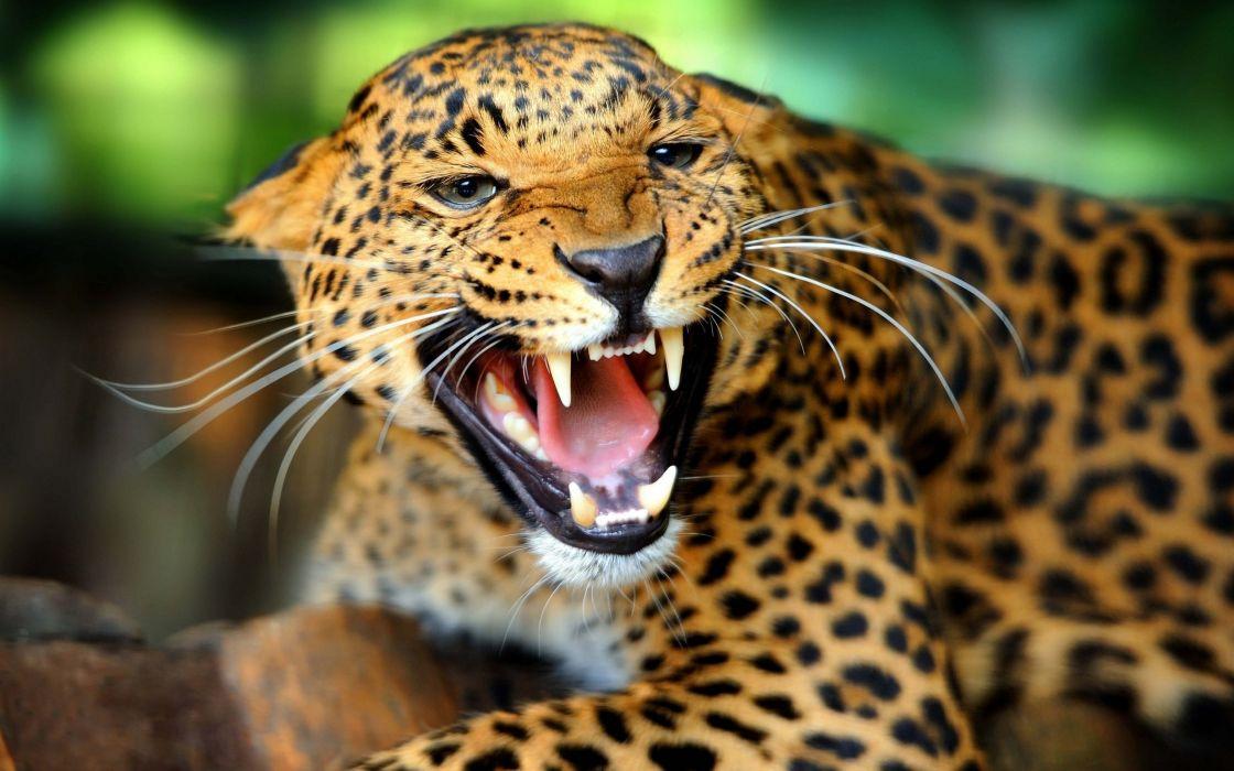puma felino animal wallpaper