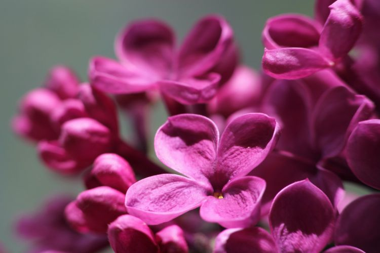 lilac flowers macro sunlight wallpaper