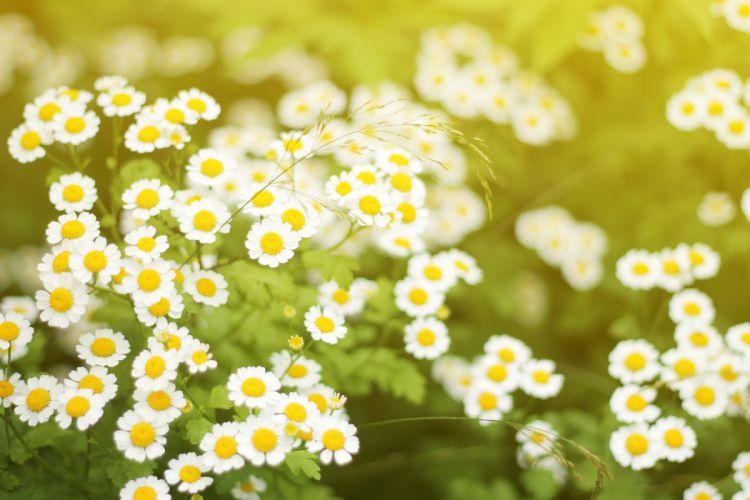 chamomile flowers blossom summer sunlight wallpaper