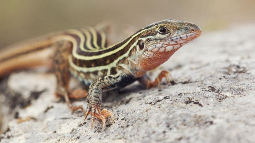 lagartija reptil wallpaper