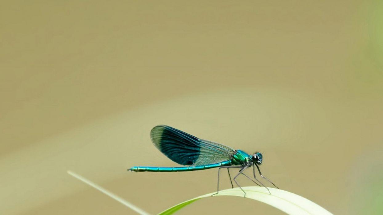 liberula insecto wallpaper