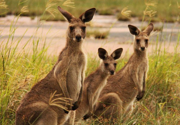 carnguros marcupiales australia wallpaper