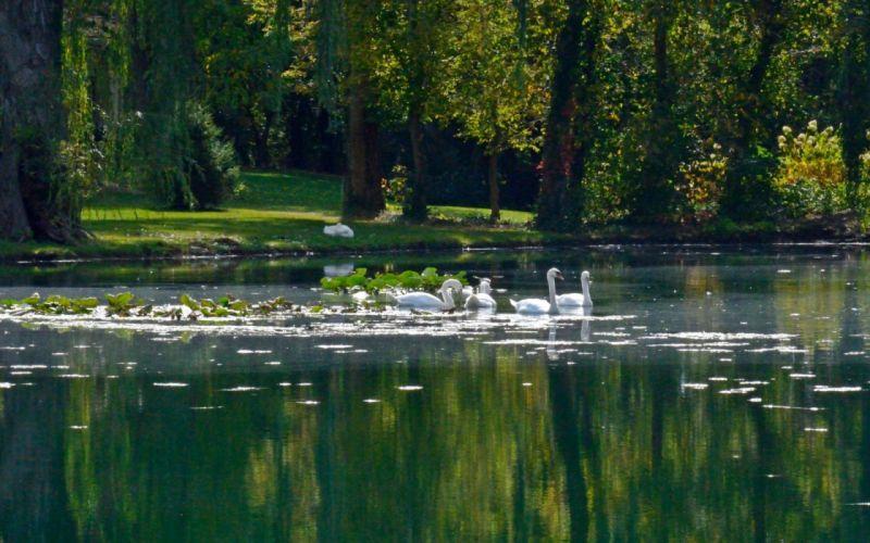 lake nature water landscape reflection swan wallpaper