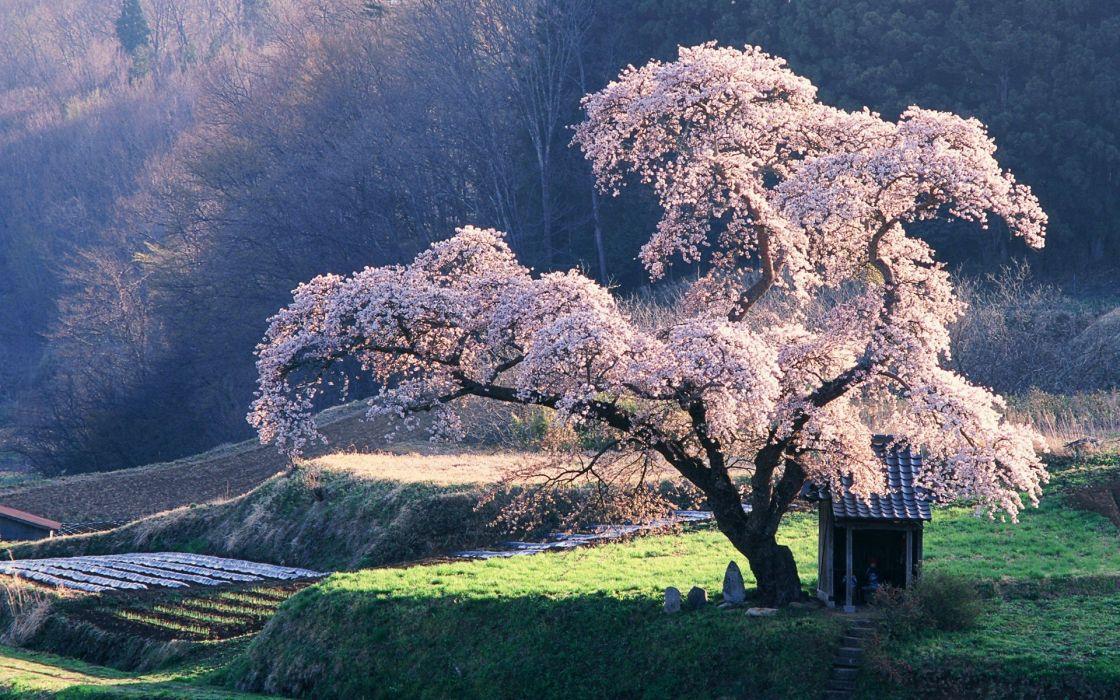arbol cerezo naturaleza paisaje wallpaper