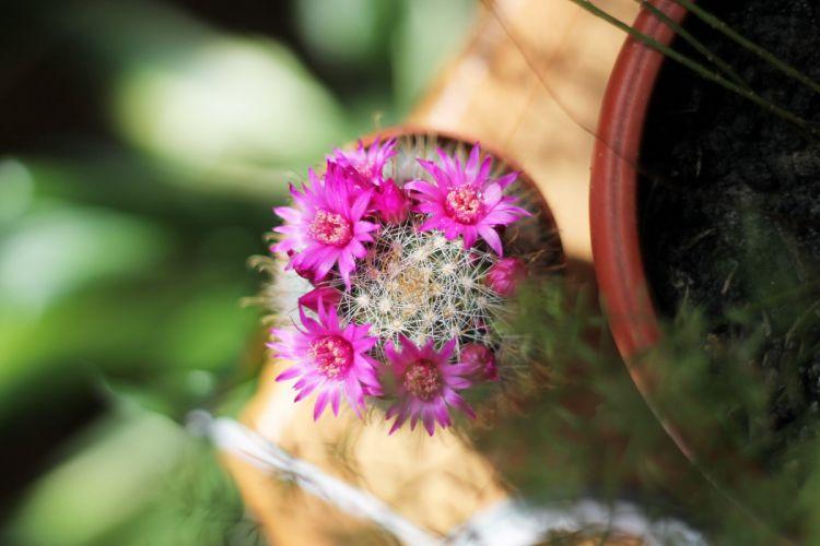cactus flowers flowering blossom spring sunlight macro plant spines wallpaper