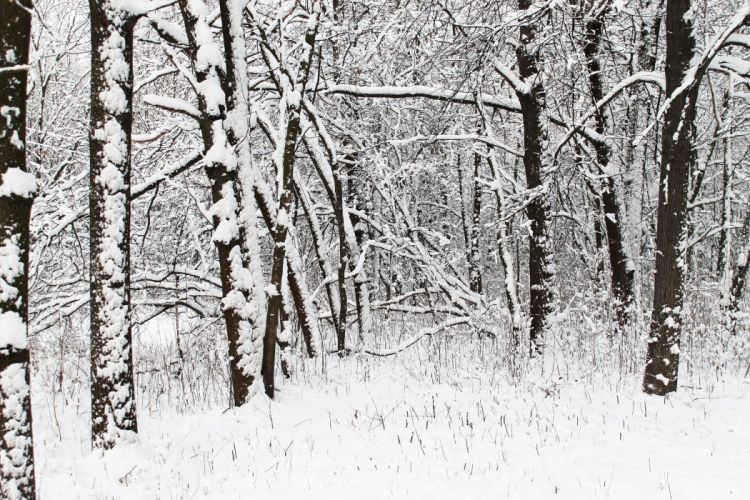 winter forest trees snow wallpaper