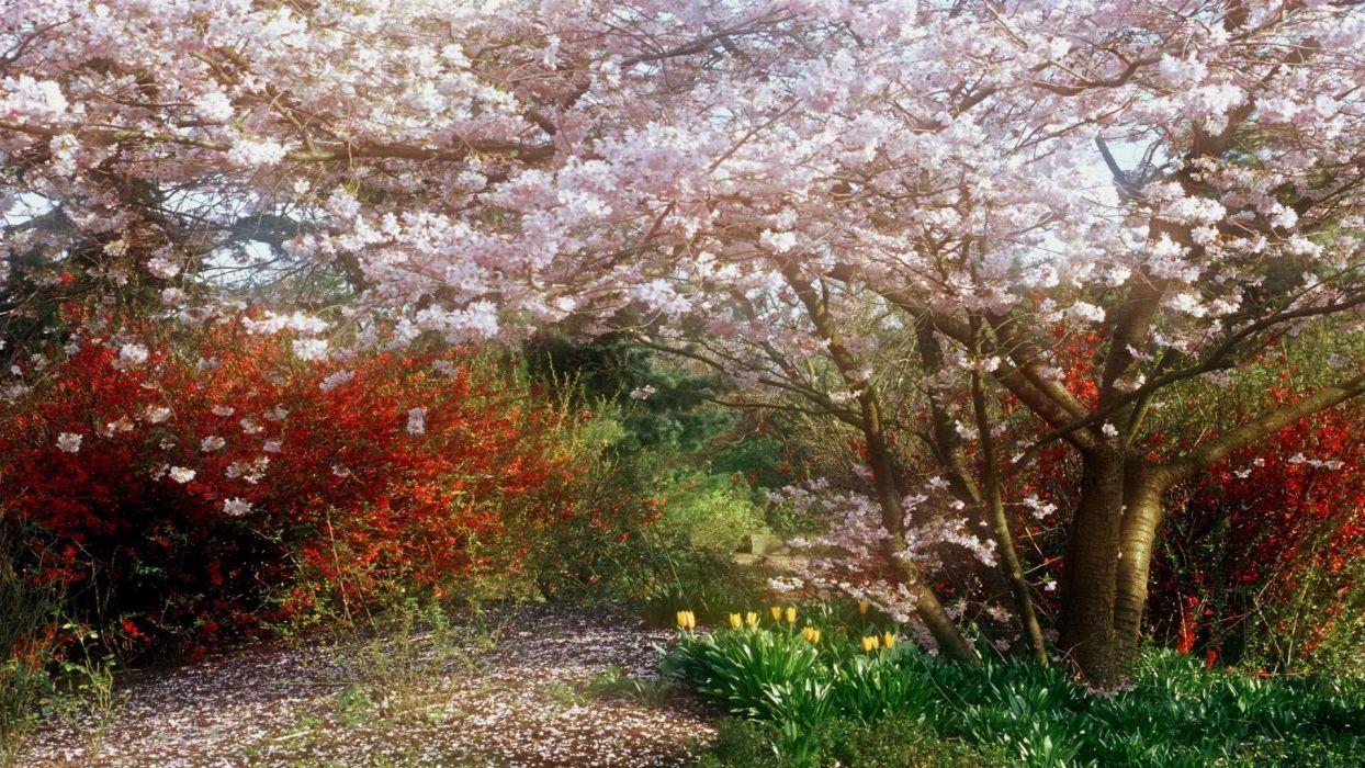 tree beauty nature beautiful flower pink sakura wallpaper