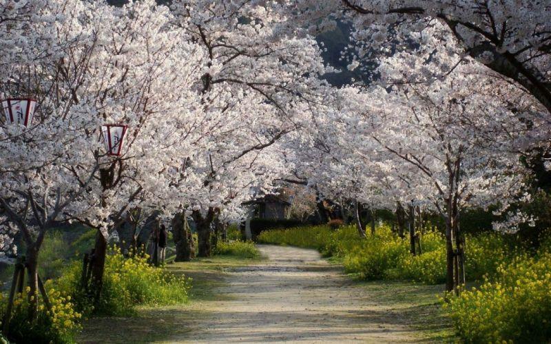 tree beauty road nature beautiful flower pink sakura wallpaper
