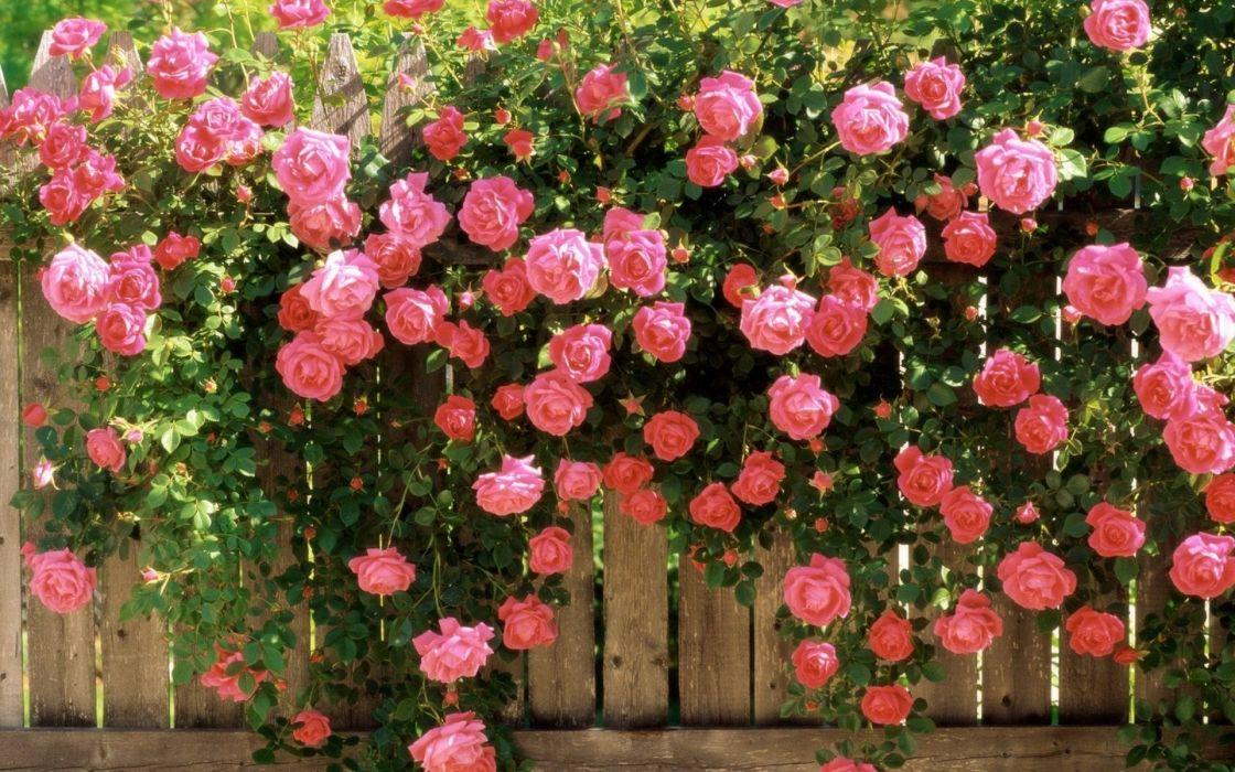 beauty nature beautiful flower pink rose garden spring wallpaper