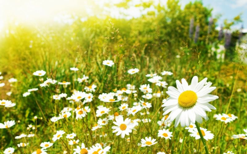 daisy flower nature beautiful wallpaper