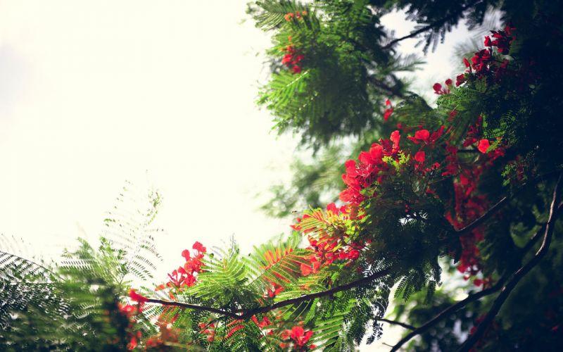 red summer beauty beautiful tree nature wallpaper