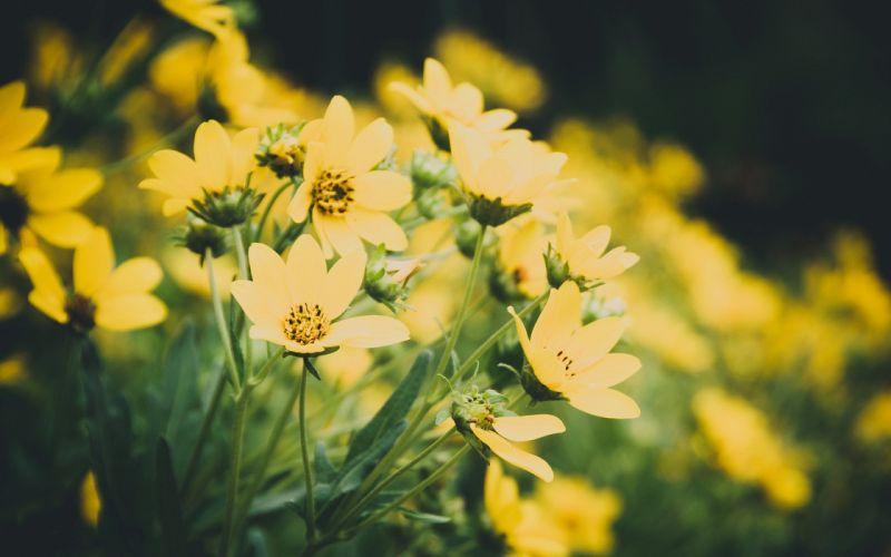 yellow flower summer beauty beautiful nature wallpaper