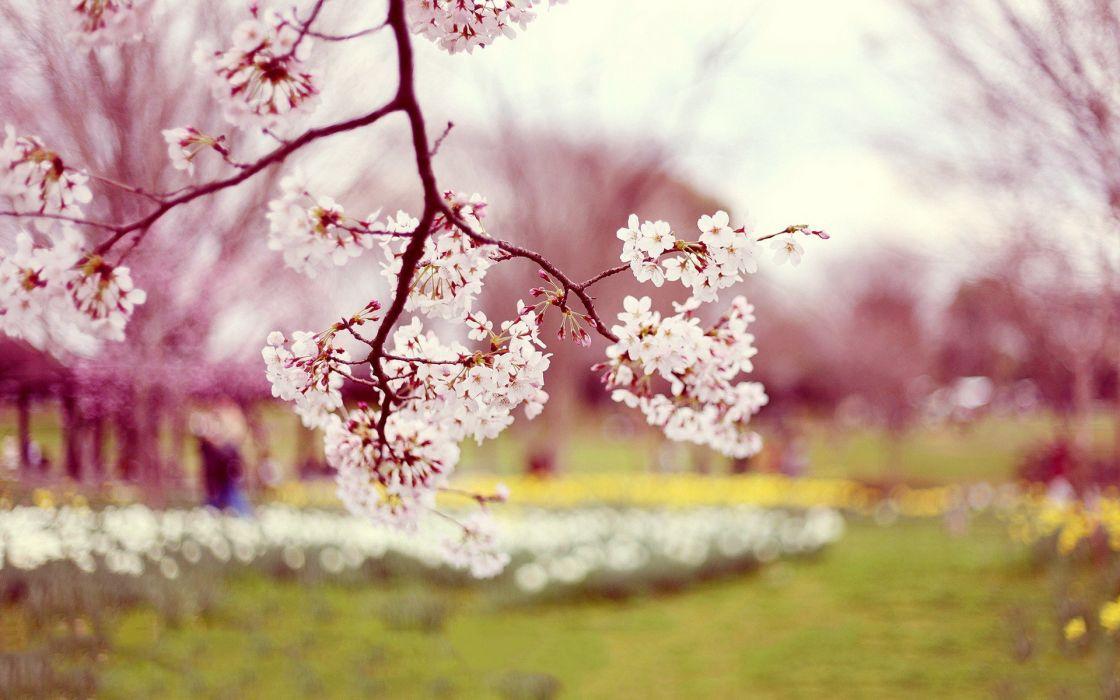 sakura pink spring beauty beautiful tree nature wallpaper