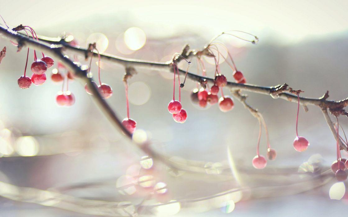 fruit cherry beauty beautiful tree nature wallpaper