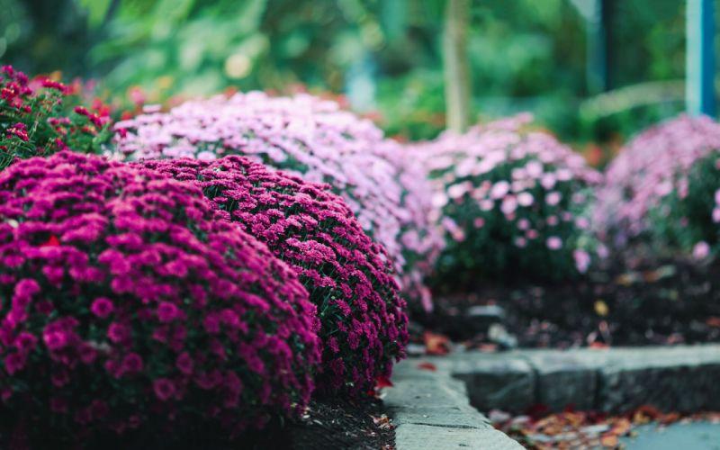 flower pink beauty beautiful nature garden wallpaper