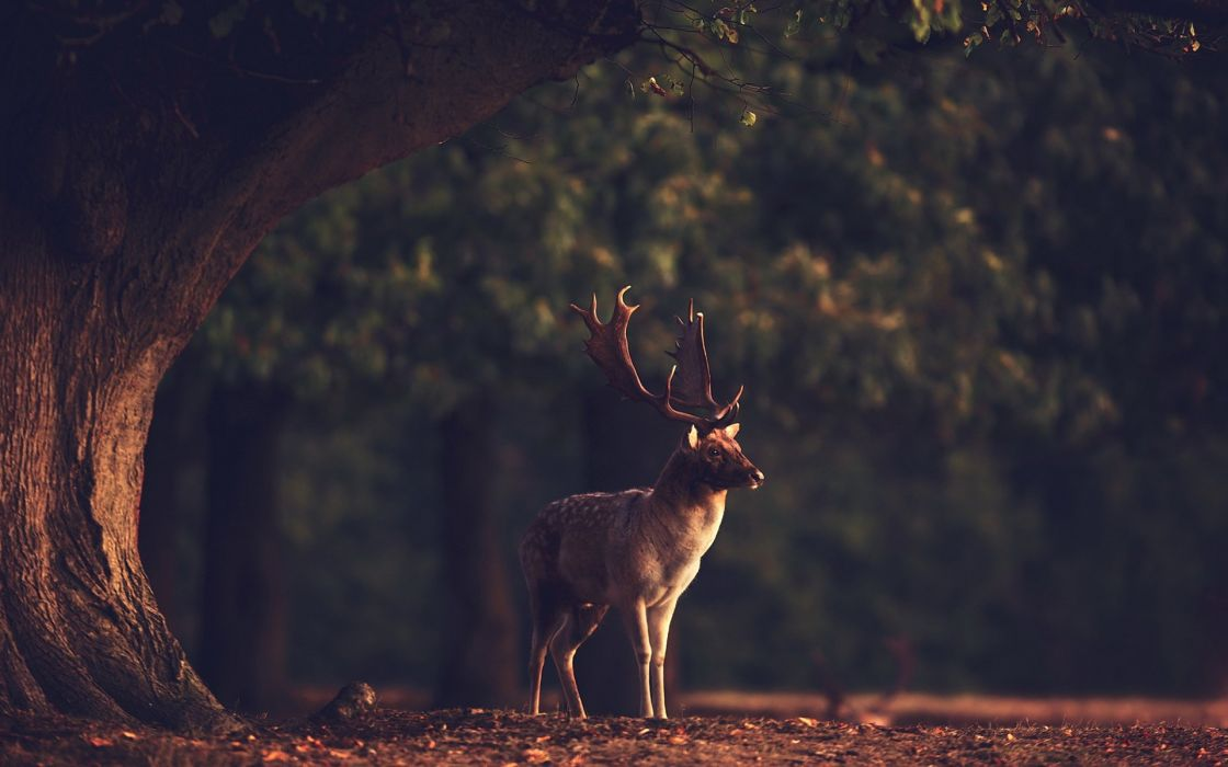sunset summer beauty beautiful tree animal deer forest nature landscape wallpaper