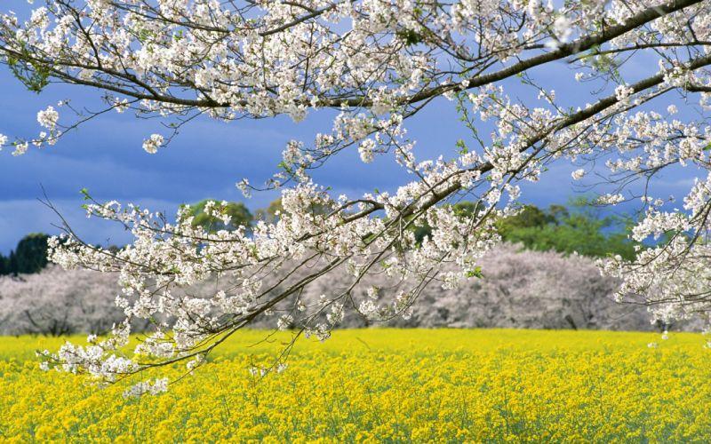 spring sakura flower tree sky beautiful landscape wallpaper