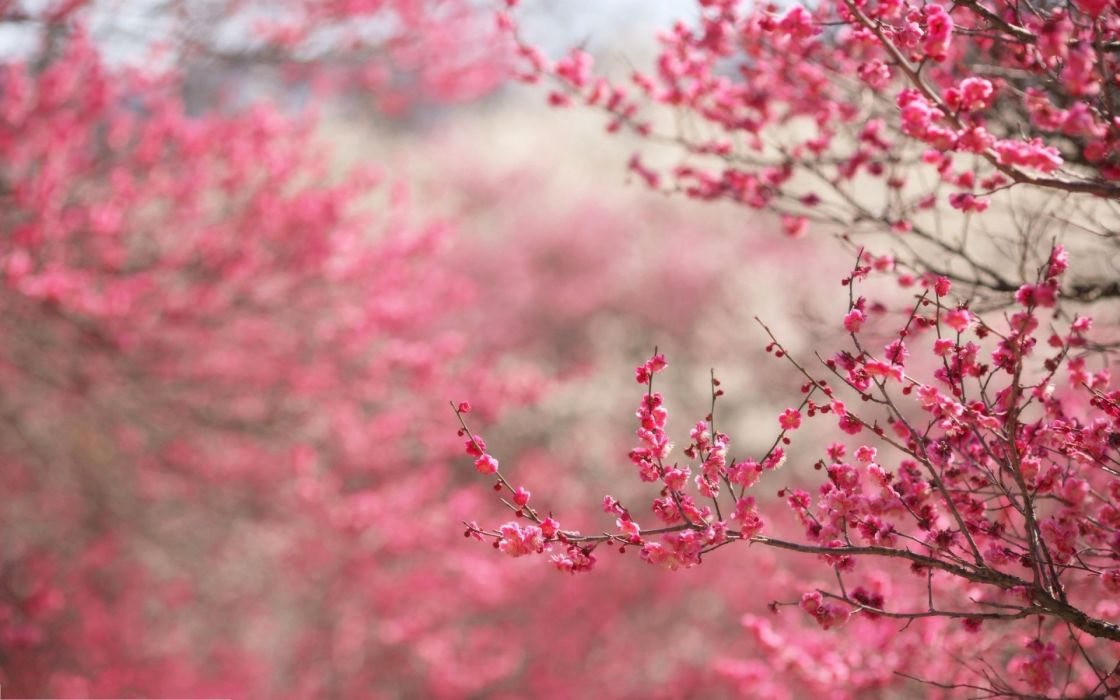 Spring Pink Beauty Beautiful Tree Nature Landscape Wallpaper