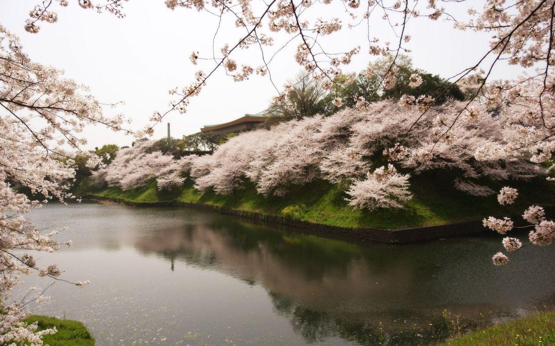 sakura japan tree beautiful river water garden wallpaper