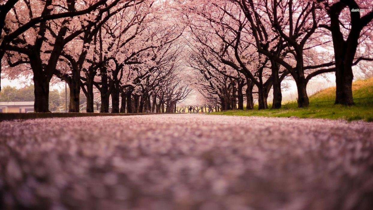 wooded path pink beauty beautiful nature park tree wallpaper