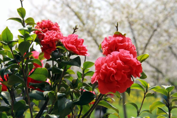 rose red flower beauty nature wallpaper