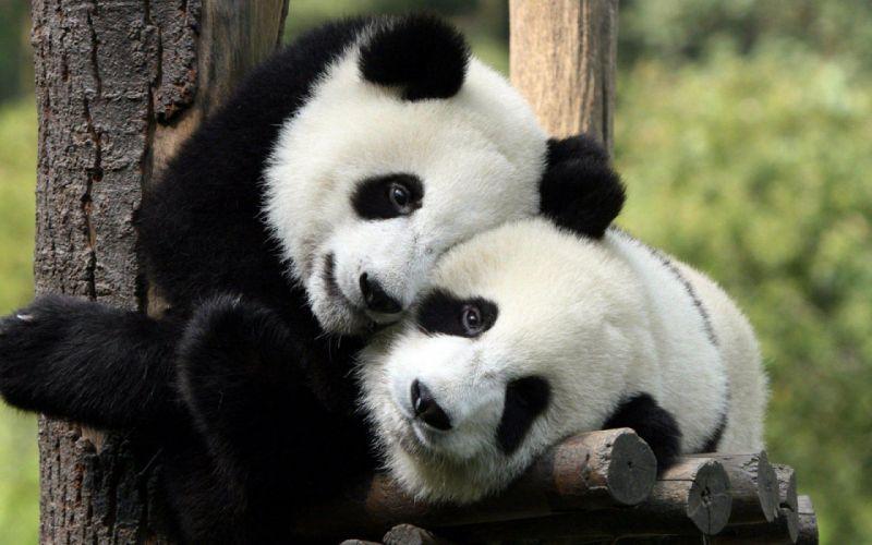 hug hugging couple love mood people men women happy panda bear wallpaper