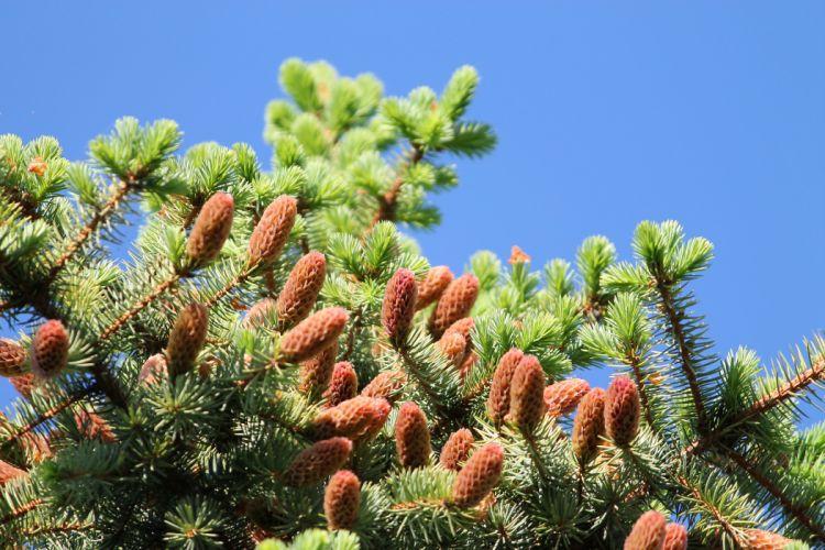 fir-tree spruce needles young branches summer sunlight cones wallpaper