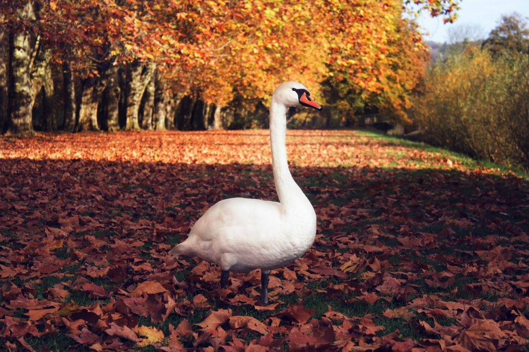 AUTUMN fall tree forest landscape nature leaves swan geese goose bird wallpaper
