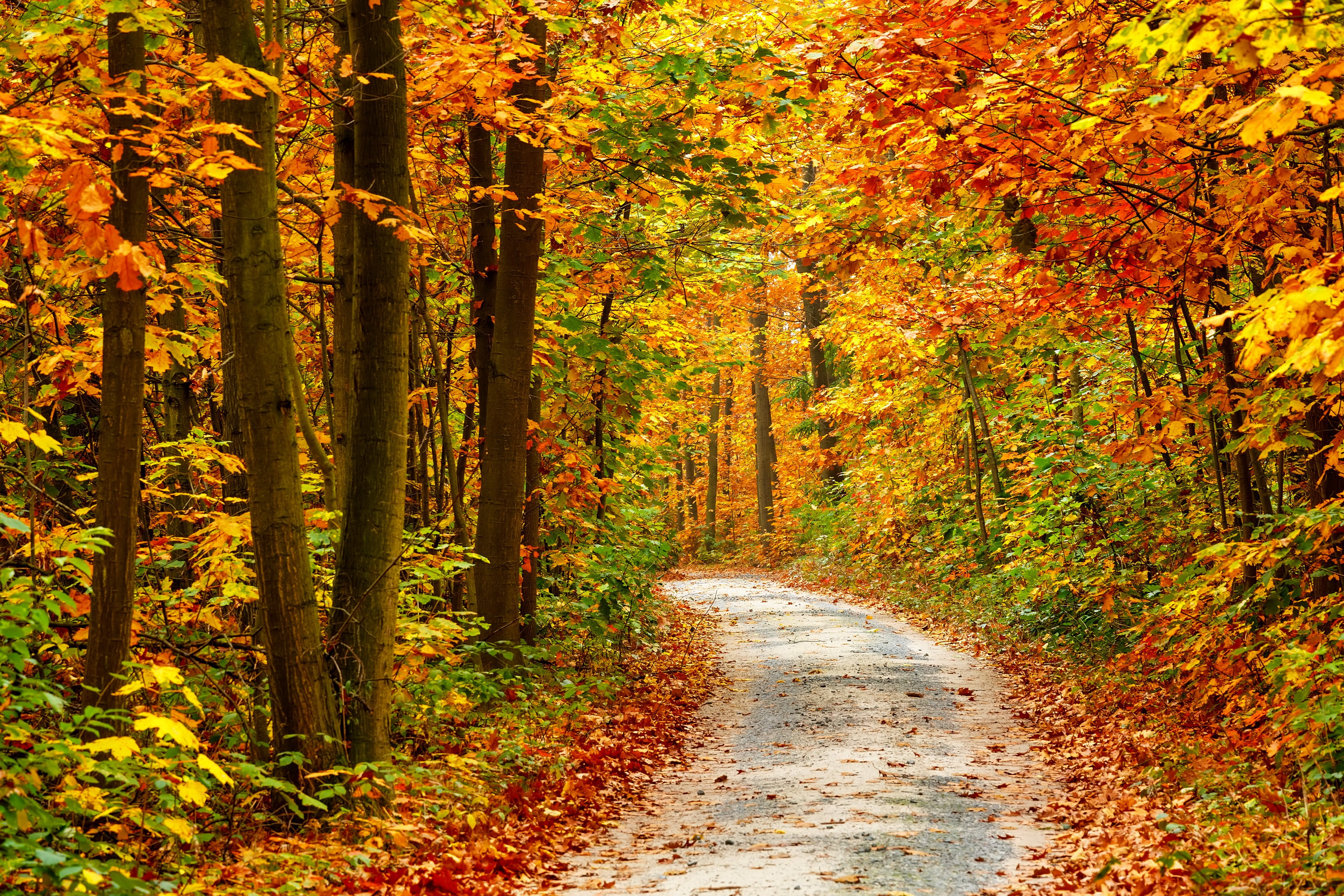 Autumn fall tree forest landscape nature leaves wallpaper for Immagini autunno hd