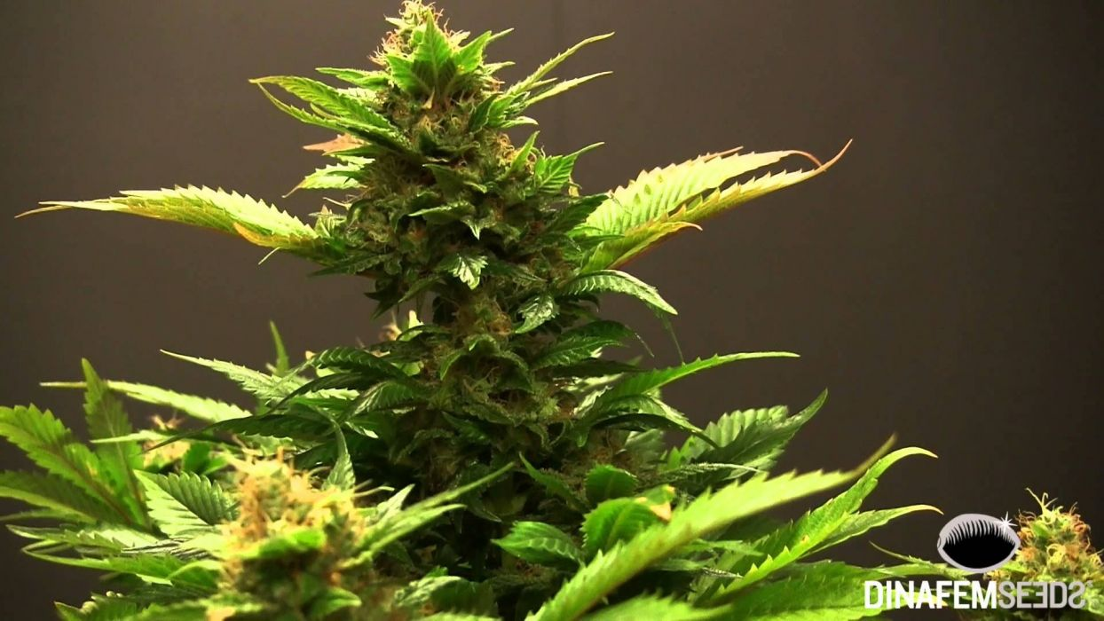 marijuana weed 420 drugs wallpaper
