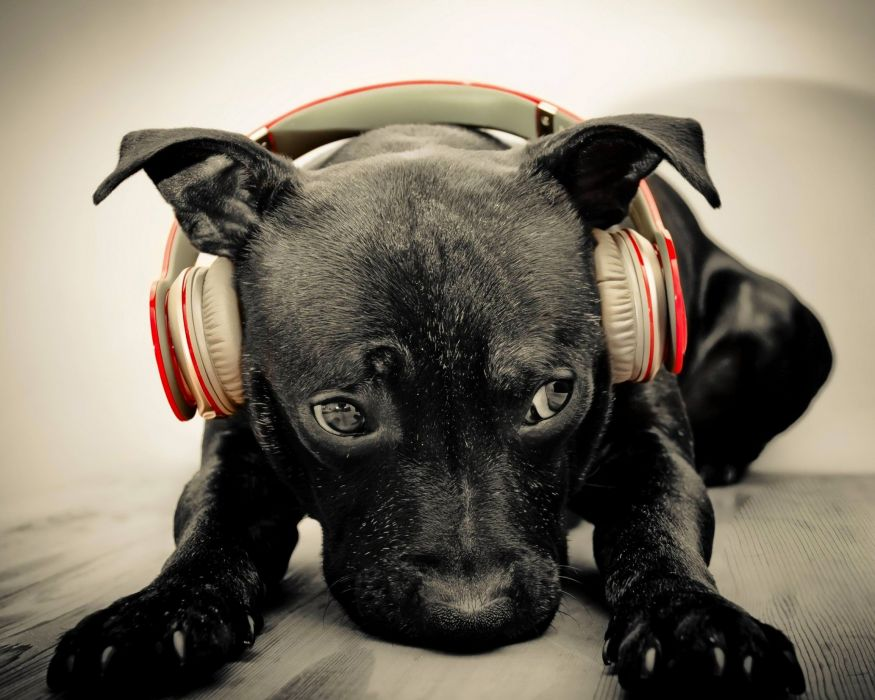RAP rapper hip hop urban music gangsta puppy dog baby headphones wallpaper