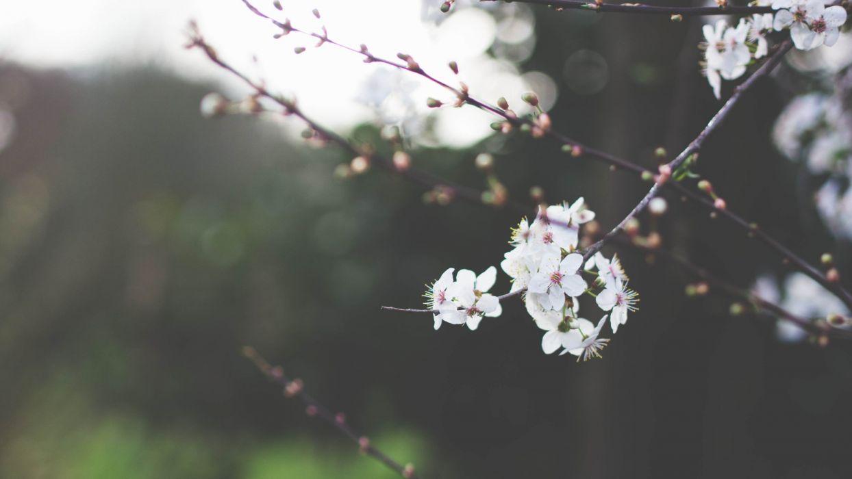 tree flower spring beautiful wallpaper