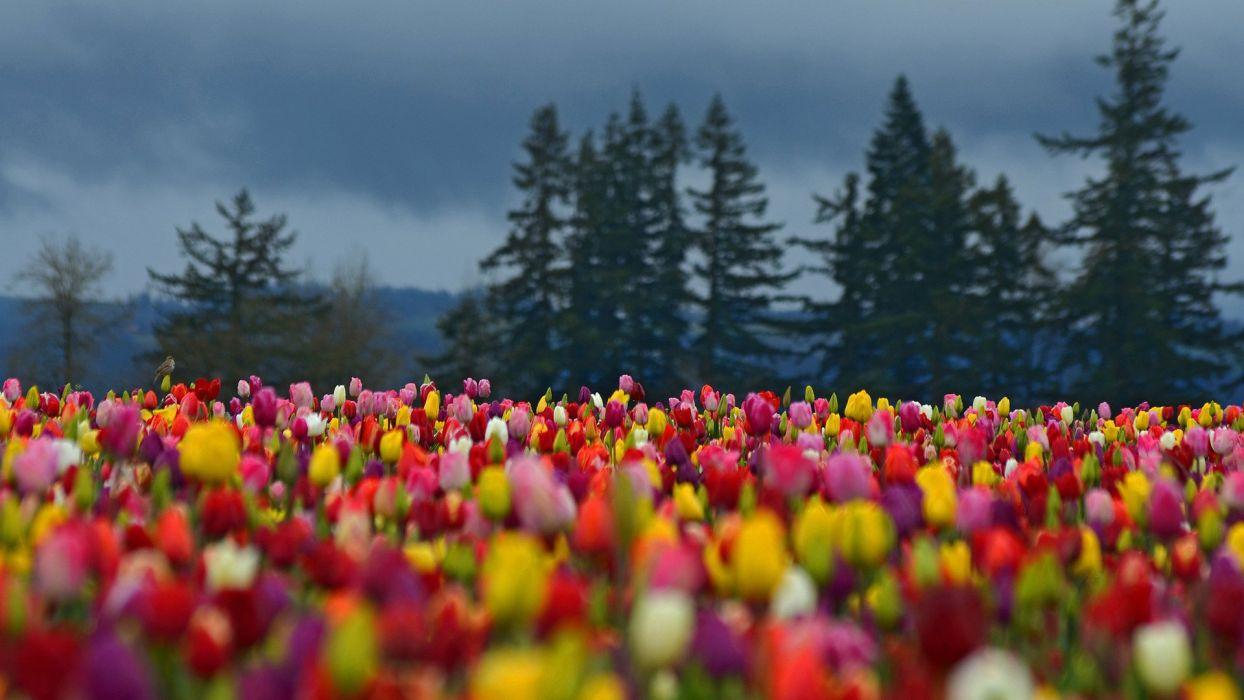 flower tree beauty landscape spring tulips wallpaper